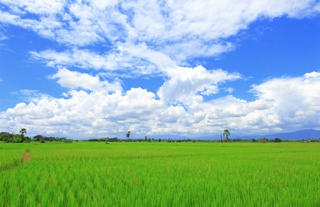 Paddy rice field under blue sky Stock Photo - 10661701