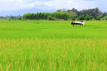Paddy rice field with hill background Stock Photo - 10661702