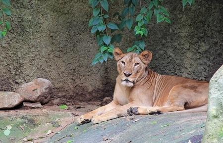 female lion: Beautiful portrait of a female lion  Stock Photo