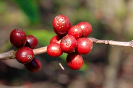 bush bean: Fresh coffee beans in the nature Stock Photo