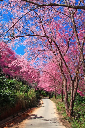 Sakura pink road in Chiang Mai, Thailand photo