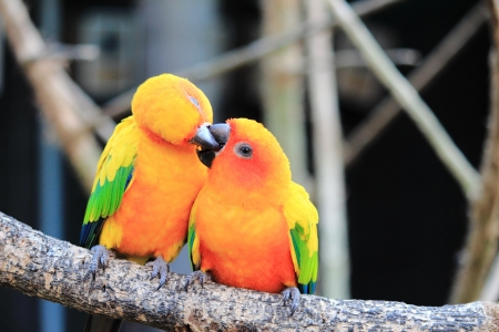 exotic pet: Colourful parrot bird kissing on the perch