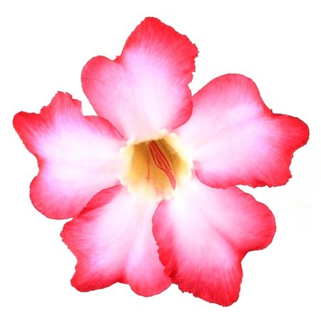 desert rose: Floral background. Close up of Tropical flower Pink Adenium. Desert rose on isolated white background.  Stock Photo