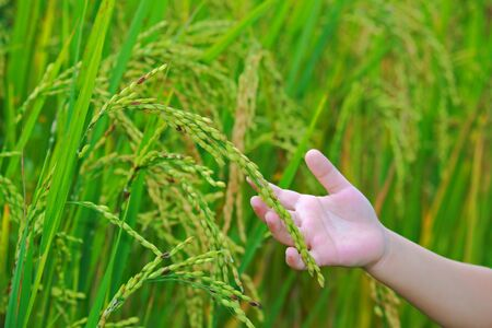 Rice on hand in paddy field Stock Photo - 11647527