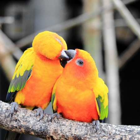 on perch: Colourful Sun Conure parrot bird kissing on the perch Stock Photo
