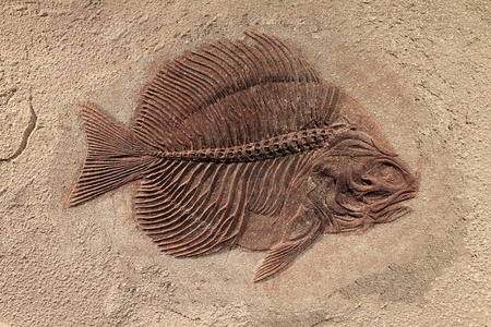 fossilized: Fish fossil  Stock Photo