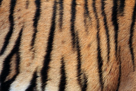 Real Tiger Texture  photo