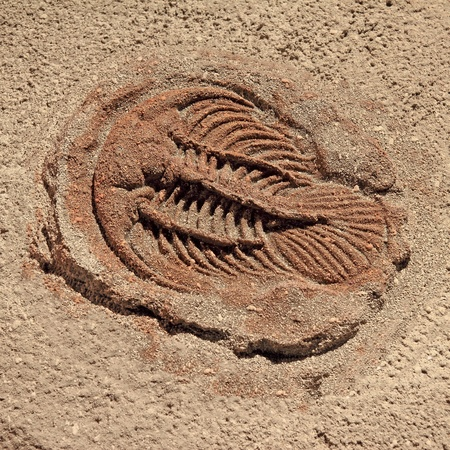 fossil: trilobite beetle turtle fossil