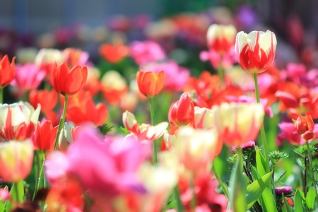 Tulips garden soft focus Stock Photo - 12233315