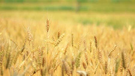 Wheat field  Stock Photo - 12602409
