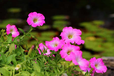 flower close up: Pink Petunias flower with water drops Stock Photo