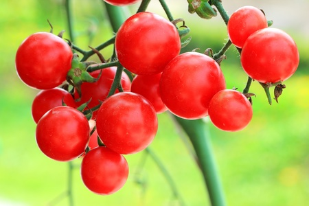 Close up of fresh red tomatoes still on the plant Stock Photo - 12602489