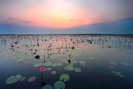 sunset waterlily field photo