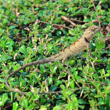 frilled: Lizard in the wild