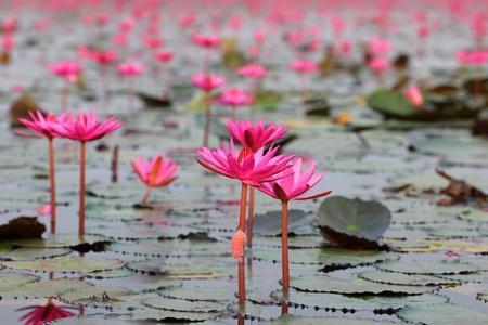 Lotus field photo