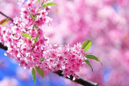 Cherry blossoms with green leaf Stock Photo - 13105488