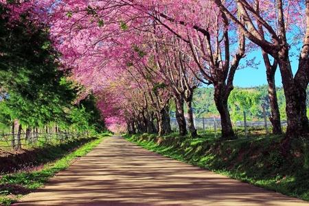 風景: チェンマイ、タイの桜道