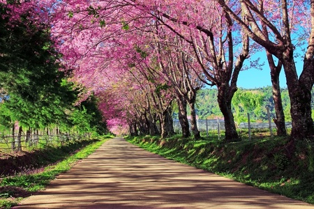nature landscape: Cherry Blossom Pathway in ChiangMai, Thailand