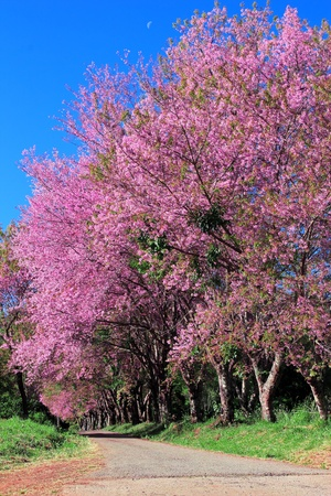 Cherry Blossom Pathway in ChiangMai, Thailand photo
