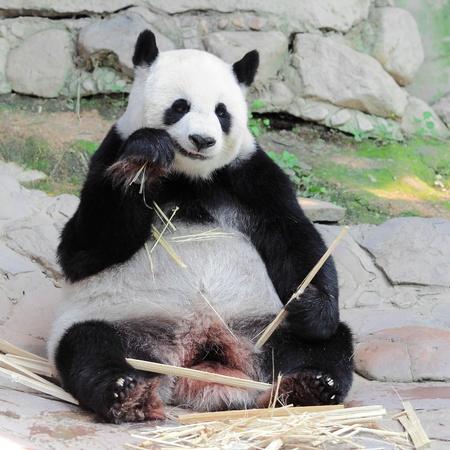 Big Panda eating bamboo  photo