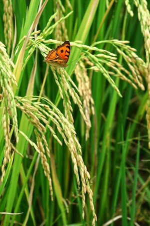 Green rice paddy with beautiful butterfly. Stock Photo - 13287411
