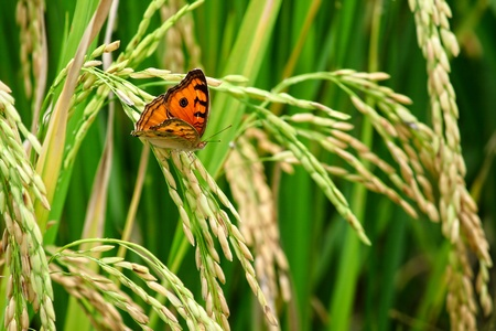 Green rice paddy with beautiful butterfly. Stock Photo - 13287408