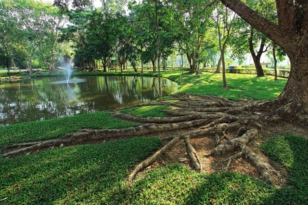ficus: Tropical  tree roots in the garden
