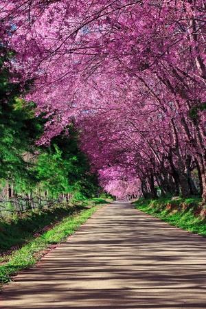 cerezos en flor: Camino Cherry Blossom en Chiang Mai, Tailandia