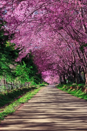 fleur de cerisier: Pathway Cherry Blossom � Chiangmai, Tha�lande Banque d'images