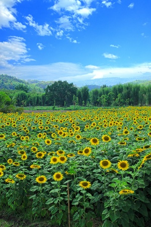 sunflower in the field with blue sky Stock Photo
