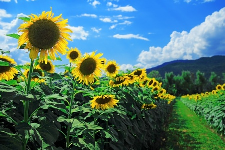 sunflowers field: sunflower in the field with blue sky Stock Photo