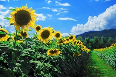 zonnebloem: zonnebloemen in het veld met blauwe hemel Stockfoto