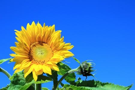 sunflower in the field with blue sky photo