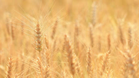 harvest growing in a wheat farm field Stock Photo - 14134403