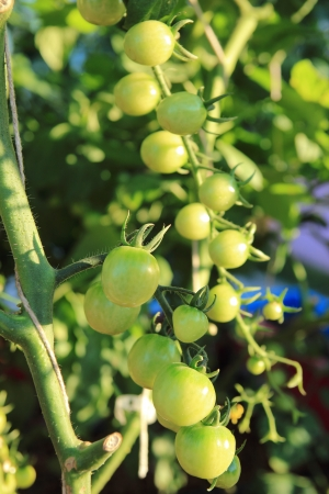 Close up of fresh tomatoes still on the plant photo