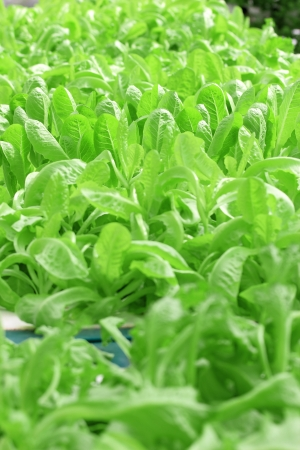 Hydroponics Vegetable photo
