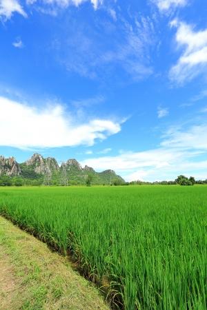 Rice field and big mountain photo