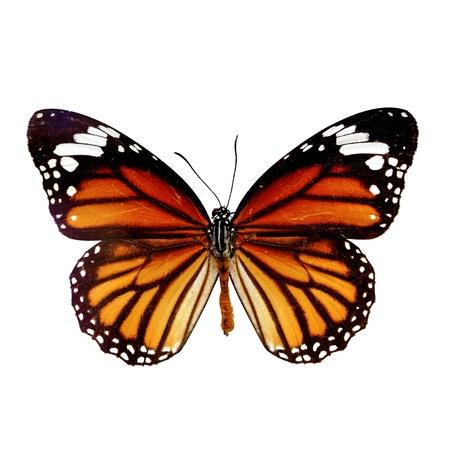 Schmetterling isoliert auf weißem Hintergrund Standard-Bild