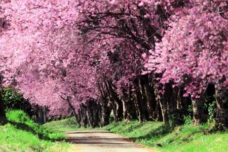 Cherry Blossom Pathway in ChiangMai, Thailand photo