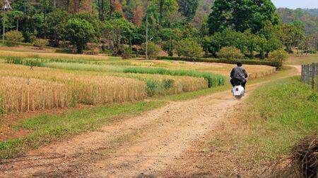 vespa piaggio: raccolta che cresce in una fattoria campo di grano