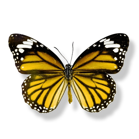 yellow butterfly isolated on white background with soft shadow photo