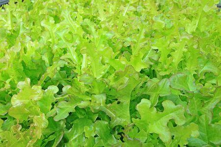 Organic hydroponic vegetable photo