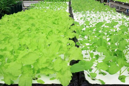 Organic hydroponic vegetable photo