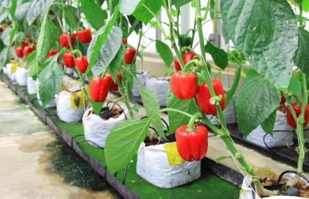 pimenton: pimienta planta