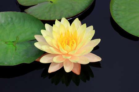 lirio acuatico: lilly agua en el lago