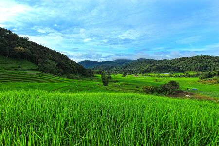 terraced: Green Terraced Rice Field in Chiangmai, Thailand