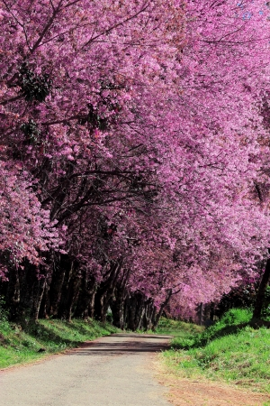 Cherry Blossom Pathway in Chiang Mai, Thailand photo