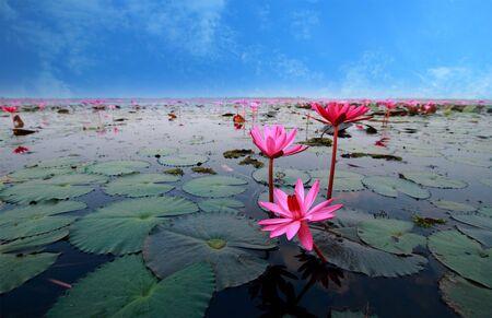 flor loto: flor de loto reflejan en el agua