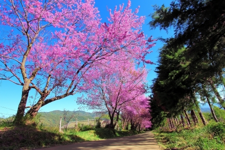 paysages: Pathway Cherry Blossom � Chiangmai, Tha�lande Banque d'images