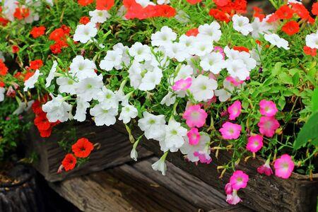 petunia: Petunia flower  Stock Photo